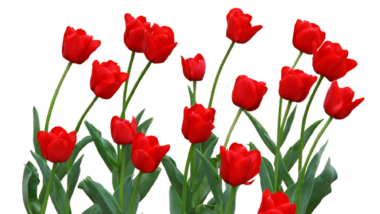 チューリップ(赤)